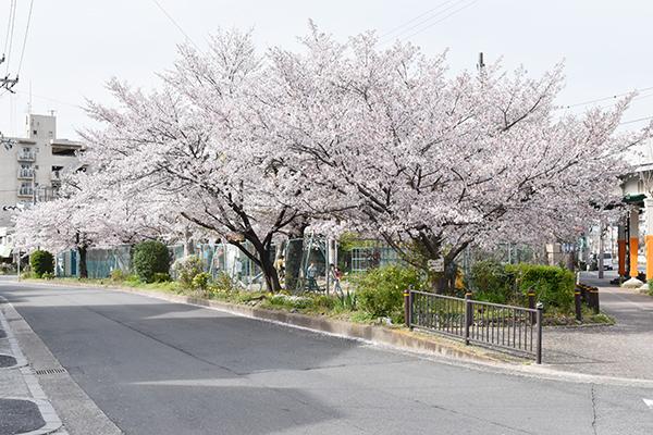 senbayasi_sakura_04