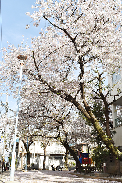 senbayasi_sakura_10