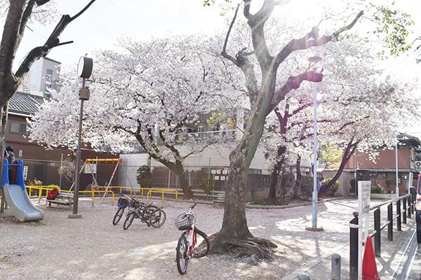 senbayasi_sakura_11